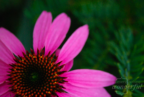 PurpleConeflower | by {every}nothing wonderful