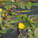 Flickr photo 'Potamogeton natans (48°08' N 16°36' E)' by: HermannFalkner/sokol.