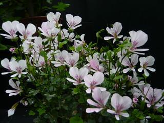 Pelargonium grandiflorum | by brianpettinger