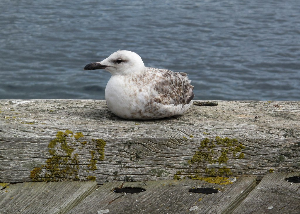 Baby seagull | Another bird with no legs  I've called the RS