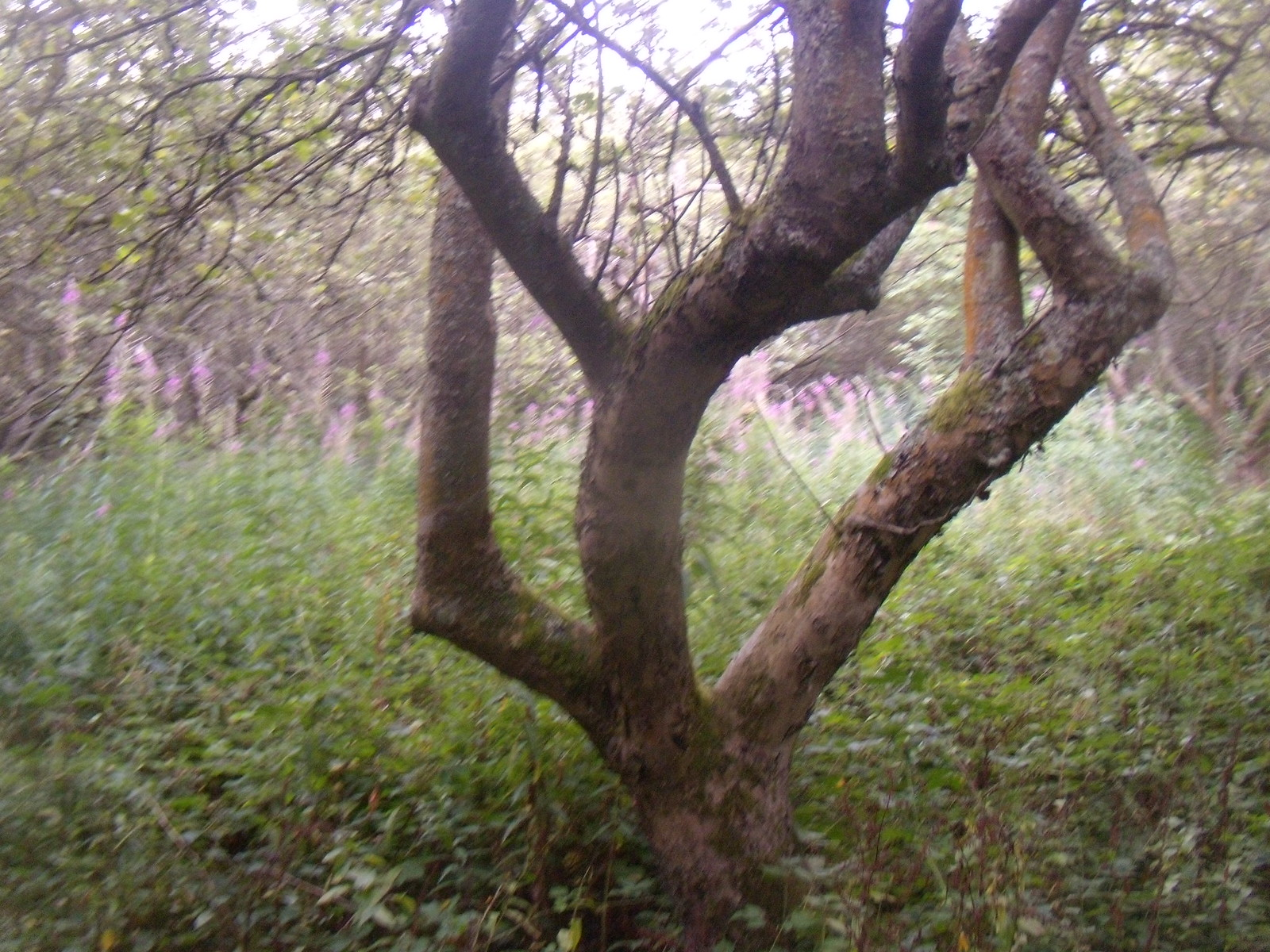Apple tree Robertsbridge circular (short)