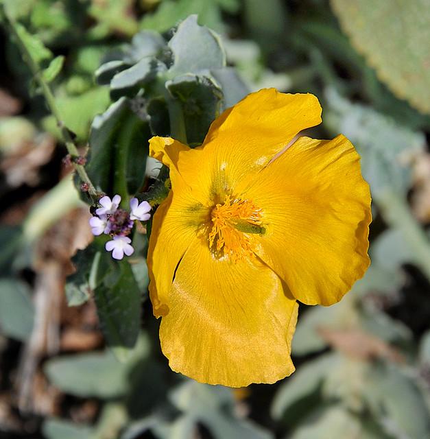 Glaucière jaune - Mont-Agel (Alpes-Maritimes)