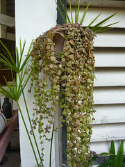 """not sure what this is--possibly Plectranthus prostratus """"Succulent Swedish Ivy"""""""