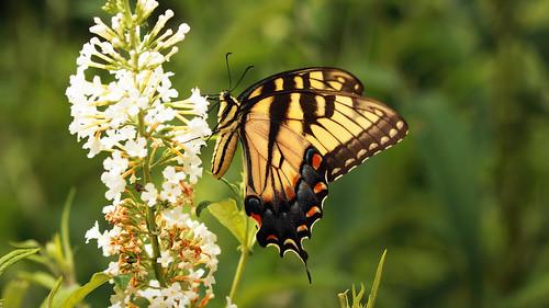 butterfly easternswallowtail butterflybush inmybackyard landscape northcarolina macro dorameulman color canon canon7dmark11 sigma105mmf28exdgmacroos outdoor haiku