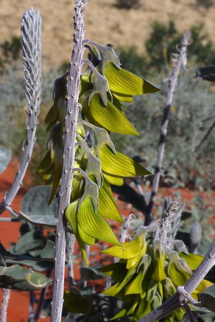 Green birdflower: Crotalaria cunninghamii