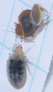 Recently molted adult bed bugs | by louento.pix