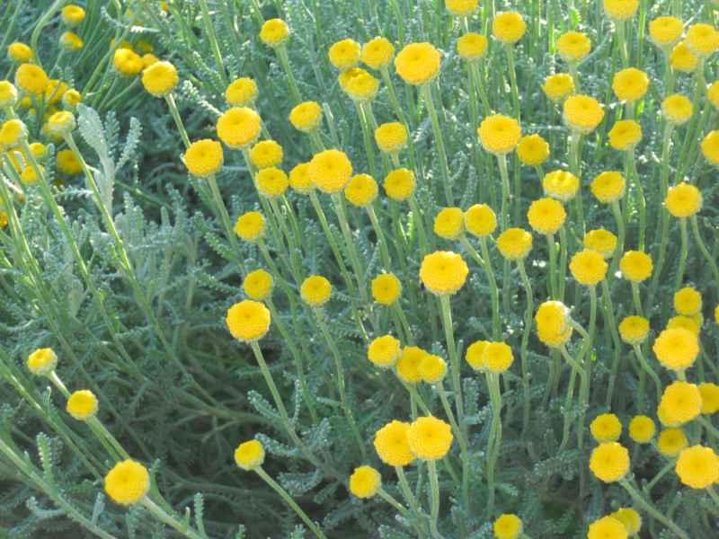 Santolina chamaecyparissus flor 3