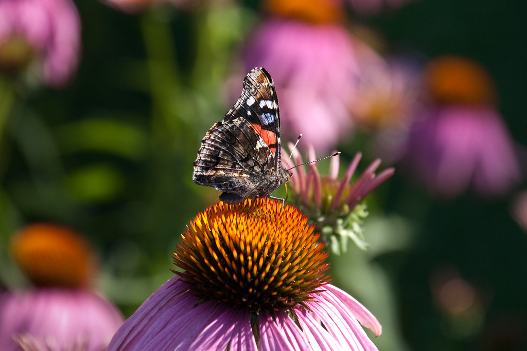 Butterfly on Echinacea by Anvilcloud
