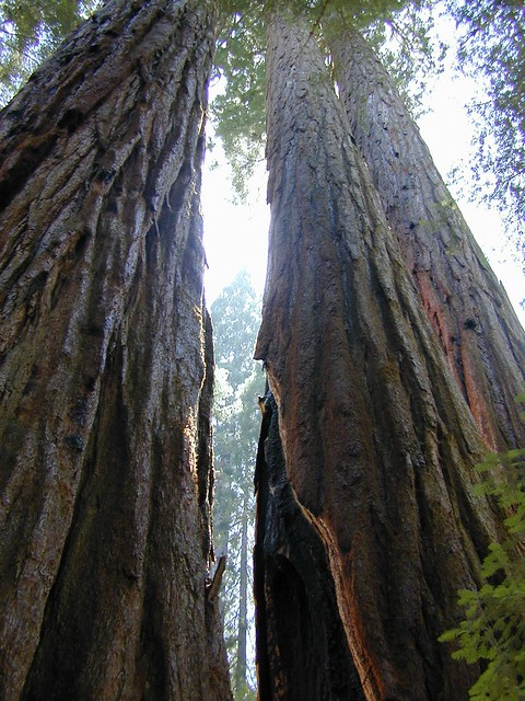 Sequoia Groves Everywhere