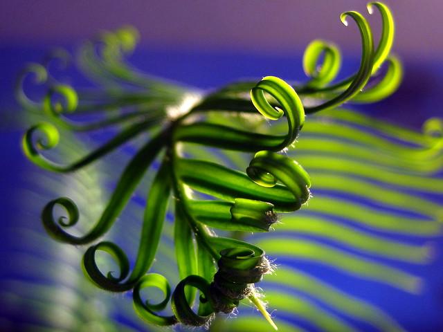 Sago Palm Frond