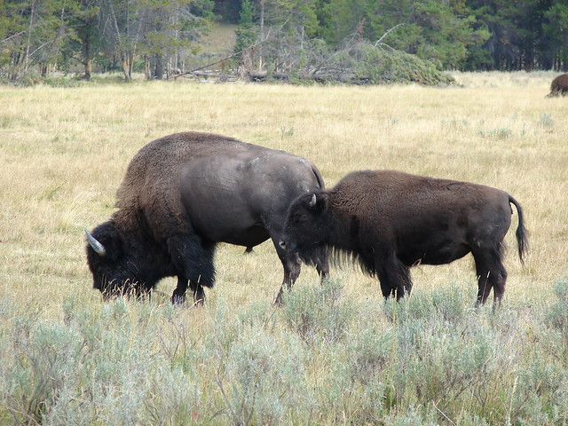 Bison at Yellowstone National Park, Wyoming