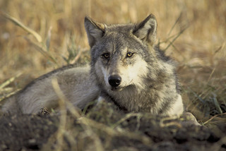 Gray Wolf | by USFWS Pacific