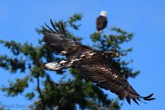 Juvenile Bald Eagle (Parent in background)