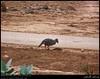 Arabian Partridge in Sahalnout, Salalah, Dhofar by Shanfari.net
