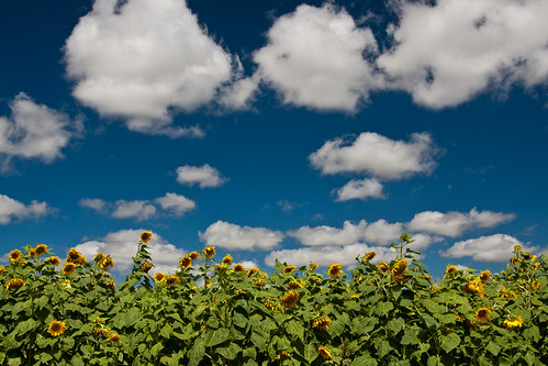 vacation sky field texas tx sunflowers fredericksburg coulds wildseedfarms