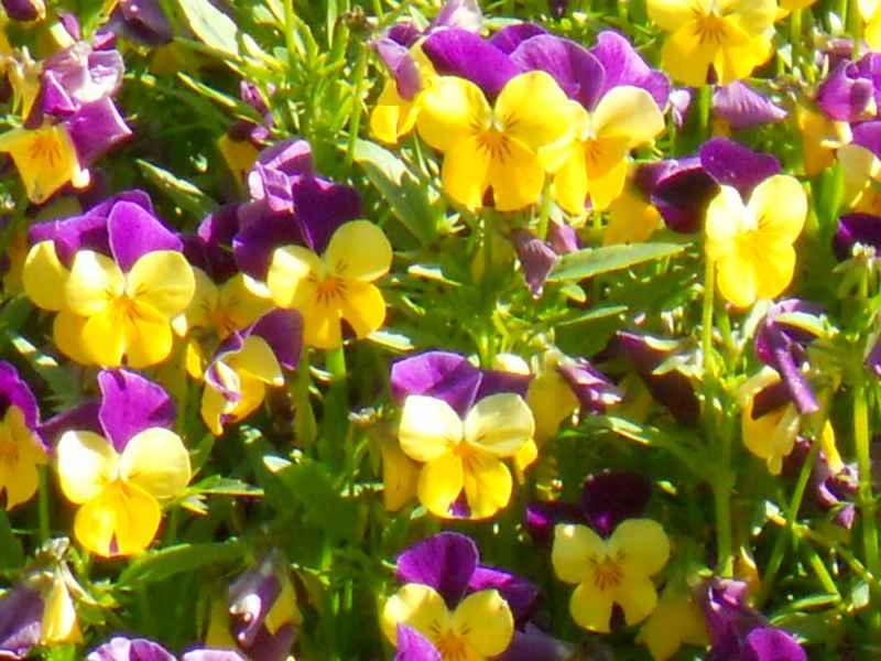 Viola tricolor detalle 2