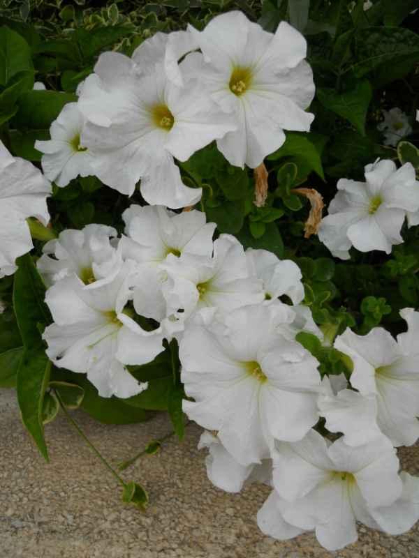 Petunia x hybrida v 3