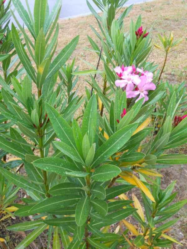 Nerium oleander v 1