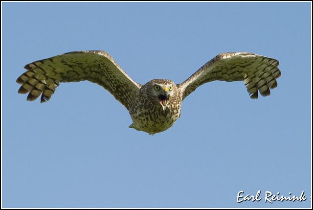 Hawk (Northern Harrier) - 1166