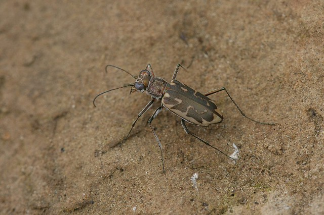 Coppery Tiger Beetle - Ellipsoptera cuprascens - Clark County, Indiana, USA - July 19, 2010