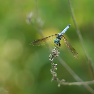 Dragonfly 4   by MichaelTBarrett