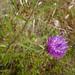 Flickr photo '6706 - Centaurea nigra' by: Chris_Moody.