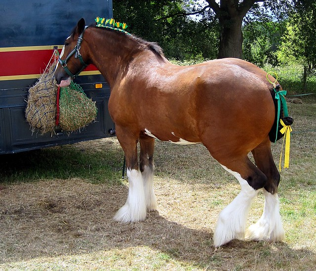Clydesdale heavy horse