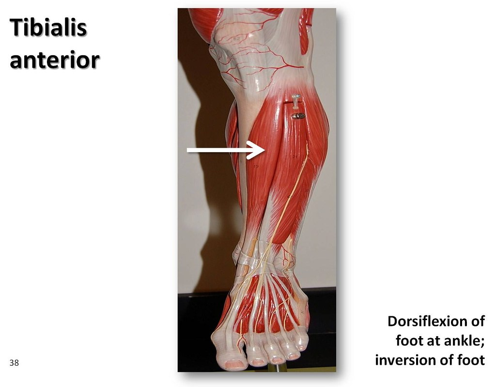 Tibialis anterior - Muscles of the Lower Extremity Anatomy