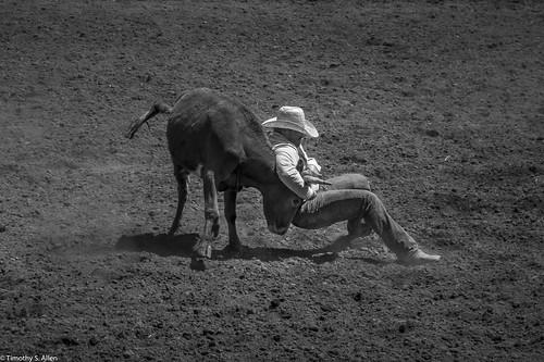 2017 calfiornia duncanmills rodeo calf russian river cowboy hat jeans arena dirt wrestle
