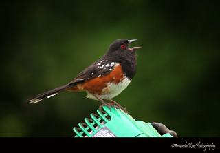 Spotted Towhee singing | by Amanda Kae's Photoz
