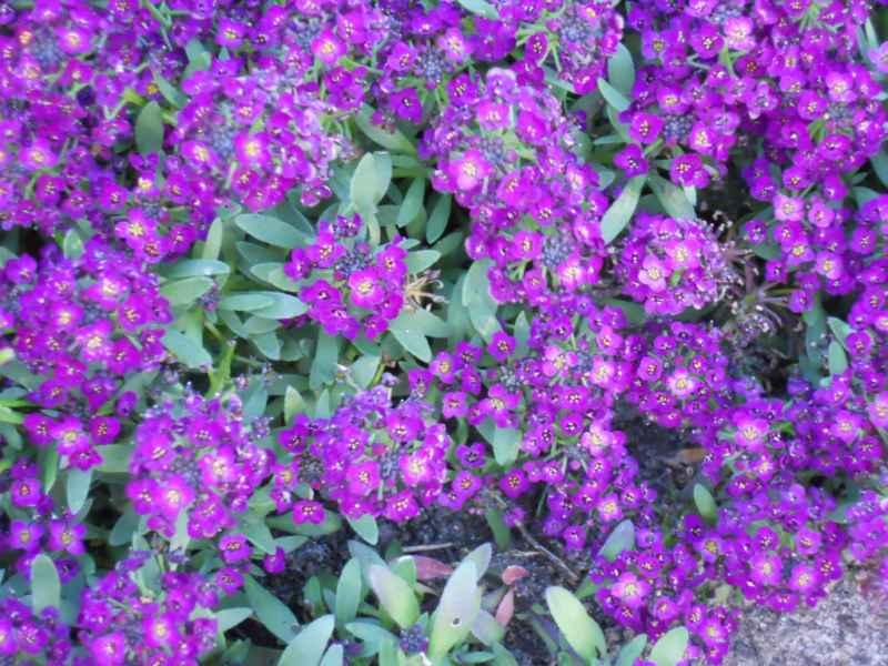 Alysum maritimum violeta 3