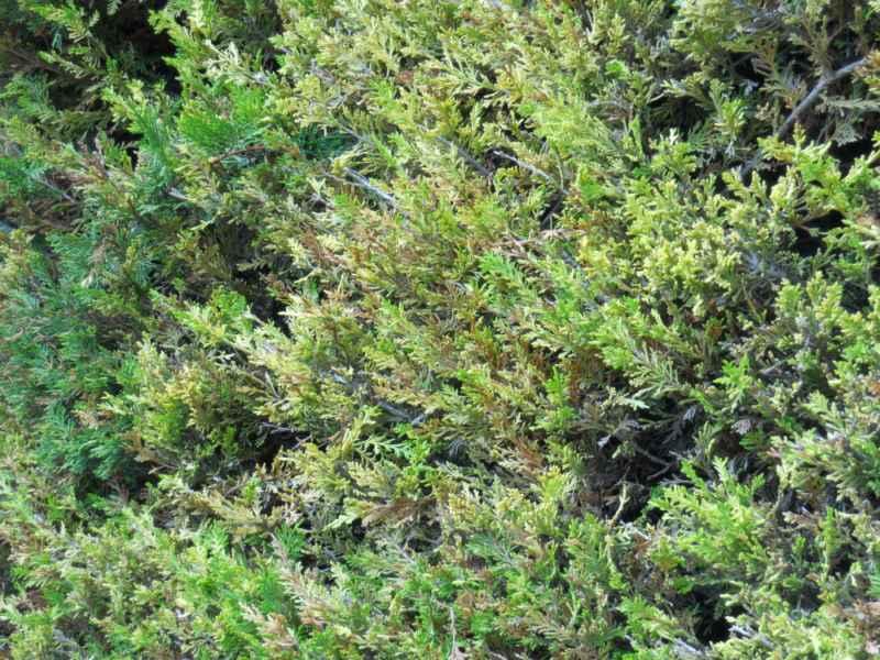 Cupressocyparis leylandii 'Castlewelland Gold' hoja 3