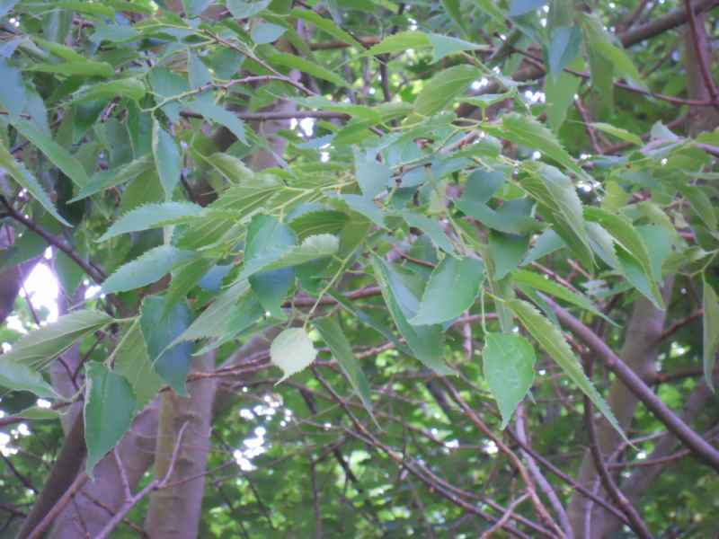 Celtis australis hojas 3