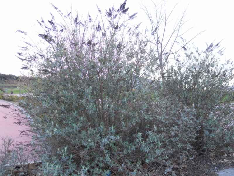 Buddleja davidii arbusto 1