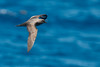 Trindade Petrel by chlorophonia