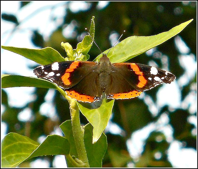 Red Admiral Butterfly ...