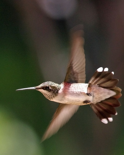 Hummingbird in Flight | by mootsie