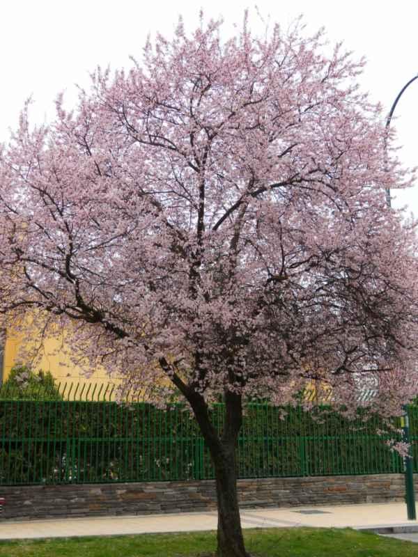 Prunus cerasifera 'Pissardii' v 1