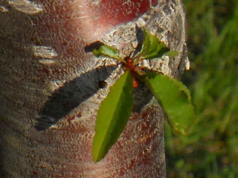 Prunus serrulata 'Kwanzan' 3