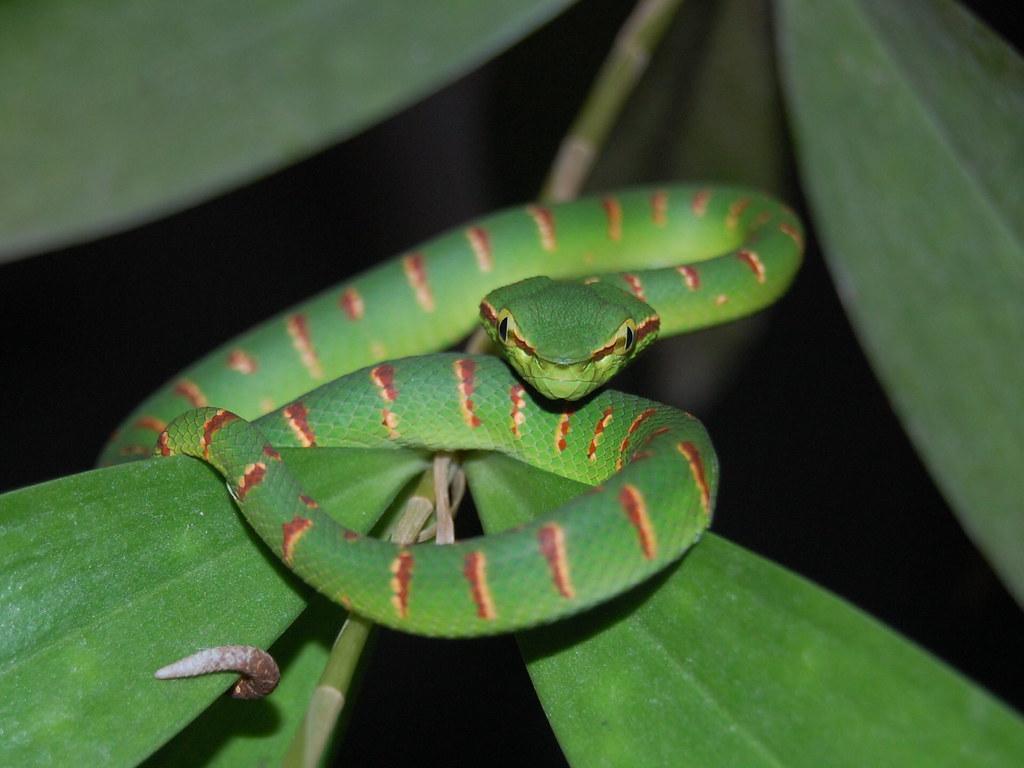Waglers Pit Viper Tropidolaemus Wagleri Photographed I