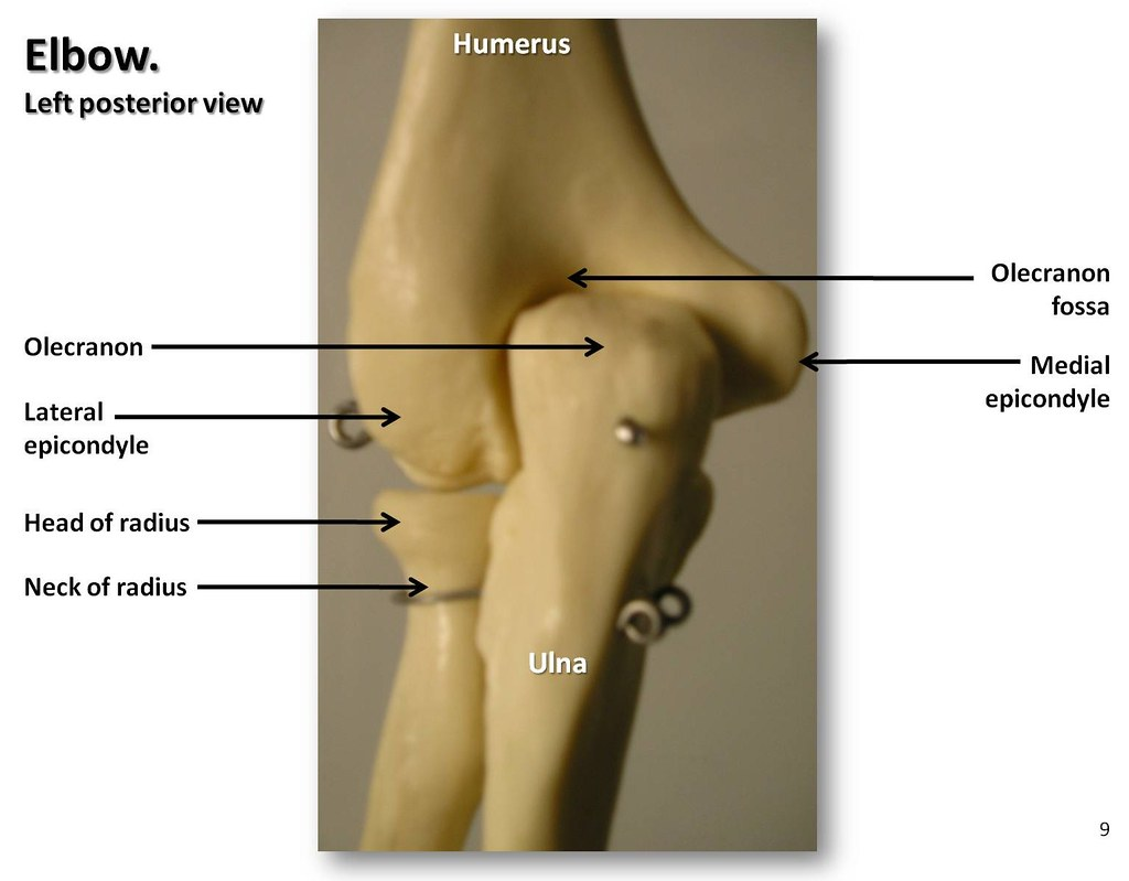 Bones Of The Elbow  Posterior View With Labels