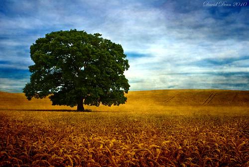 "morning blue summer tree green texture field gold oak nikon wheat arrow nikkor 1001nights warwickshire vr d60 alcester warks abigfave colorphotoaward flickrelite 1685mm ""flickraward"" skeletalmess 1001nightsmagiccity arttex jactoll"