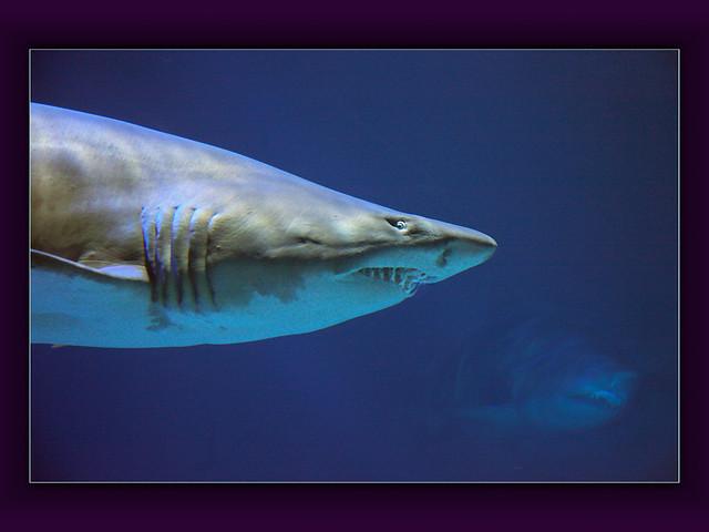 Sandtiger Shark (Carcharias taurus)
