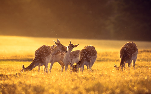 lighting morning summer england sun mist nature misty fairytale sunrise golden countryside kent nikon bokeh wildlife warmth calm deer ethereal wonderland storybook magical 70200 f28 enchanted d3