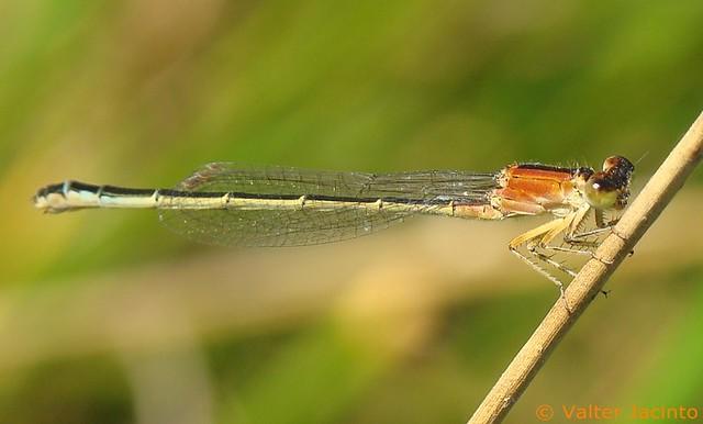 Libelinha // Iberian Bluetail (Ischnura graellsii), female