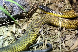 Tiger snake   by mpfl