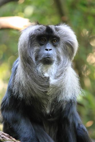 2232 macaque monkey | by shannonkringen