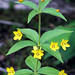 Lysimachia quadrifolia - Photo (c) BlueRidgeKitties, algunos derechos reservados (CC BY-NC-SA)