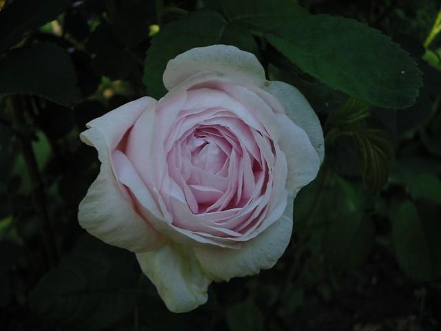 'Duchesse de Montebello'