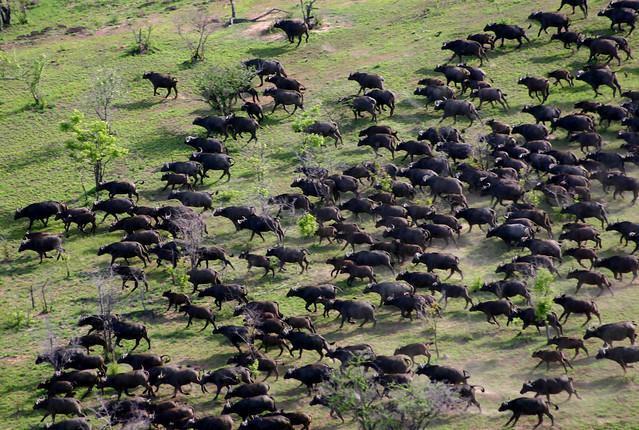 Selous buffalo - kes smith